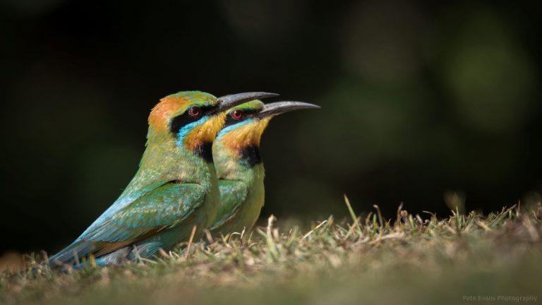 Sunshine and rainbow bee-eaters
