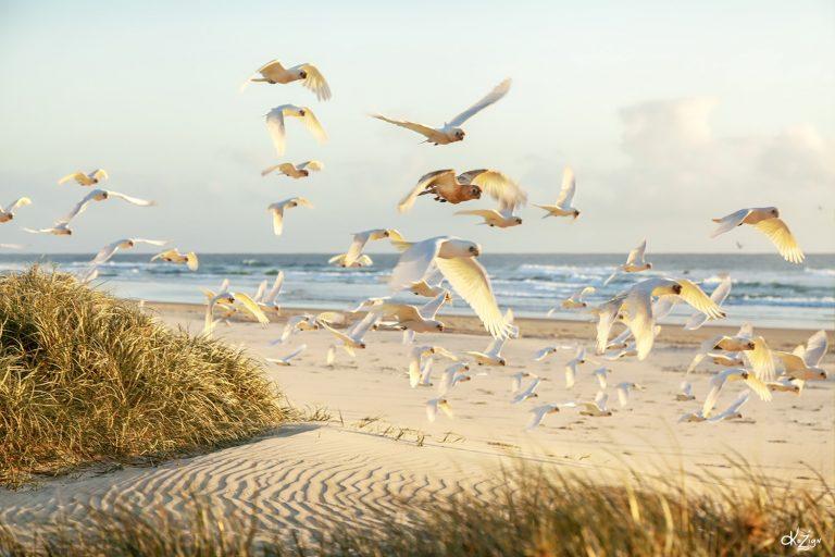Life's a beach for Coolum corellas