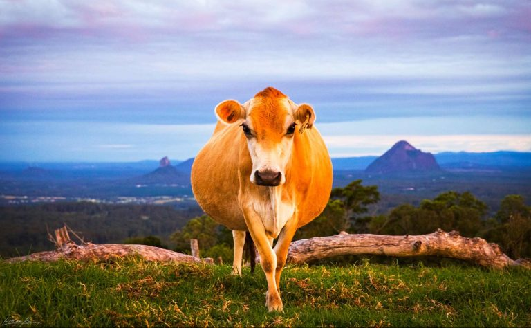 The moo with a view